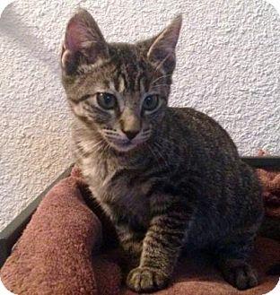 Domestic Shorthair Kitten for adoption in Austin, Texas - Toodles