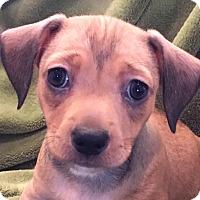 Adopt A Pet :: Gabriel - Lexington, KY