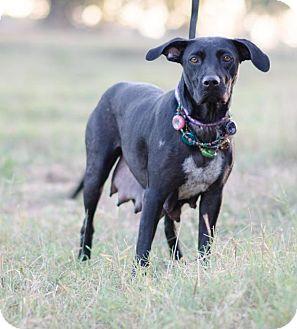 Labrador Retriever/Cattle Dog Mix Dog for adoption in Seneca, South Carolina - Beth $125