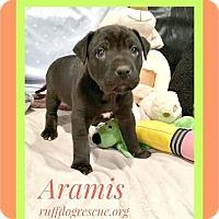 Adopt A Pet :: Aramis - Milton, GA