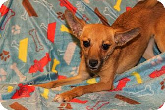 Chihuahua/Terrier (Unknown Type, Medium) Mix Puppy for adoption in Modesto, California - Fergie ($50 adoption special)