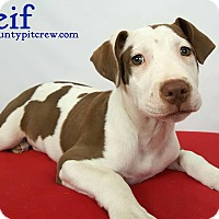 Adopt A Pet :: Leif - Toledo, OH