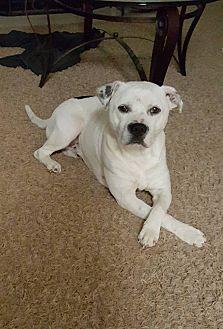 Pit Bull Terrier Mix Dog for adoption in Asheboro, North Carolina - Gage