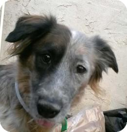 Australian Shepherd Mix Dog for adoption in Brooklyn, New York - Tiffany