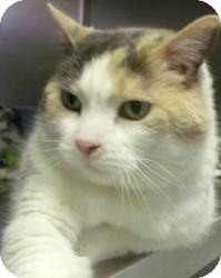 Domestic Mediumhair Cat for adoption in Muskegon, Michigan - Blanche Devereaux