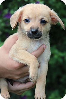 Dachshund/Chihuahua Mix Puppy for adoption in Yuba City, California - Koby