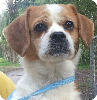 Pug/Beagle Mix Dog for adoption in Orlando, Florida - Pudgie