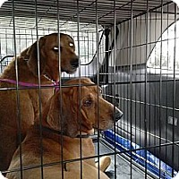 Adopt A Pet :: Tyler - St, Augustine, FL