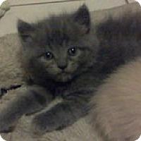Adopt A Pet :: Adonis - Ft. Lauderdale, FL
