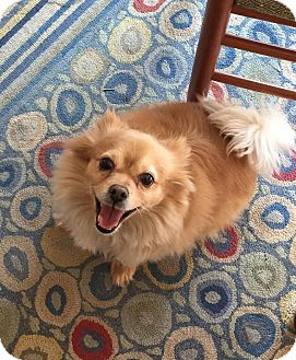 Pomeranian Dog for adoption in Sharon Center, Ohio - Kenny
