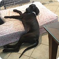 Adopt A Pet :: Dane-elle - O'Fallon, MO
