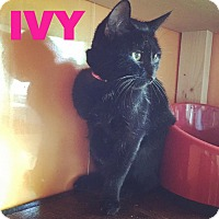 Adopt A Pet :: Ivy - Raleigh, NC