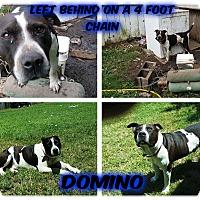 Adopt A Pet :: DOMINO - Malvern, AR