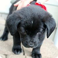Adopt A Pet :: Denali - Mt. Prospect, IL