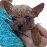 Adopt A Pet :: Bennett - Fairview Heights, IL