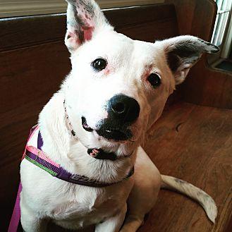 American Bulldog/Basset Hound Mix Dog for adoption in nashville, Tennessee - Tinkerbell