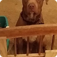 Pit Bull Terrier/Staffordshire Bull Terrier Mix Dog for adoption in Flower Mound, Texas - Lieutenant Dan
