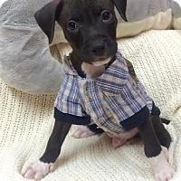 Adopt A Pet :: JAGGER - Fort Pierce, FL