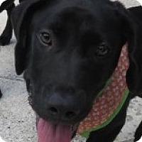 Adopt A Pet :: Barry ~ Puppy - St Petersburg, FL