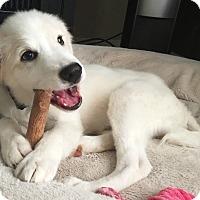 Adopt A Pet :: Saffron - Kyle, TX
