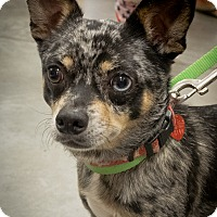 Adopt A Pet :: Eli - Loudonville, NY