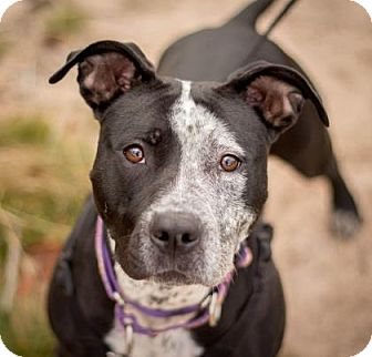 American Pit Bull Terrier Mix Dog for adoption in Negaunee, Michigan - Cleo