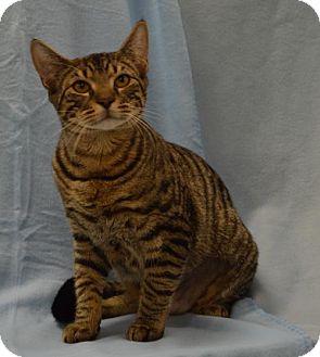 Domestic Shorthair Cat for adoption in Alpharetta, Georgia - Yummy Mummy