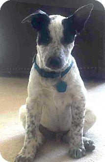Blue Heeler/Shepherd (Unknown Type) Mix Dog for adoption in Denver, Colorado - Smoke