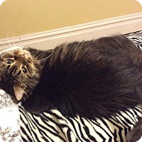 Domestic Longhair Cat for adoption in Harrisonburg, Virginia - Katie