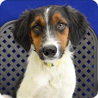 Welsh Springer Spaniel/Sheltie, Shetland Sheepdog Mix Dog for adoption in Fort Davis, Texas - Baxter