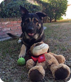 German Shepherd Dog/Shepherd (Unknown Type) Mix Dog for adoption in Dana Point, California - Max