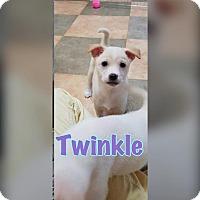 Adopt A Pet :: Twinkle - Smithtown, NY