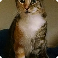Calico Cat for adoption in Garden City, Michigan - Blossom