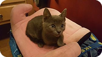 Domestic Shorthair Kitten for adoption in Tampa, Florida - Foster