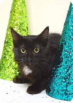 Domestic Mediumhair Kitten for adoption in Dublin, California - Charly