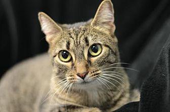 Domestic Shorthair Cat for adoption in Atlanta, Georgia - Egypt 161462