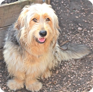 Petit Basset Griffon Vendeen/Terrier (Unknown Type, Medium) Mix Dog for adoption in Norwalk, Connecticut - Hawkins - adoption pending
