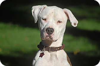 American Staffordshire Terrier/Bulldog Mix Dog for adoption in Altadena, California - Skyler