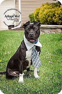 American Staffordshire Terrier/Boston Terrier Mix Dog for adoption in Voorhees, New Jersey - Prince