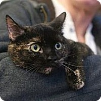 Domestic Shorthair Cat for adoption in New York, New York - Marcy