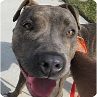 Adopt A Pet :: Bella - Los Alamitos, CA