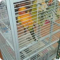Adopt A Pet :: Nesta - Villa Park, IL