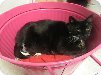 Domestic Shorthair Cat for adoption in Jupiter, Florida - Oreo