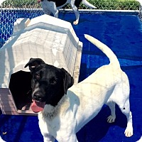 Adopt A Pet :: Pepper, Pointer mix - New Kent, VA