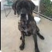 Great Dane/Mastiff Mix Dog for adoption in Beverly Hills, California - Athena