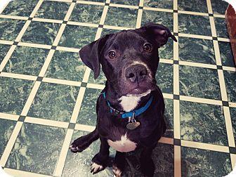 Labrador Retriever Mix Dog for adoption in Nanuet, New York - Spanky