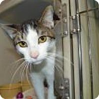 Domestic Shorthair Cat for adoption in Warren, Michigan - Lewis