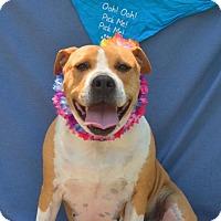 American Bulldog/English Bulldog Mix Dog for adoption in Asheville, North Carolina - Lola (Courtesy Post)