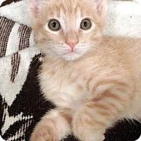Domestic Shorthair Kitten for adoption in Chandler, Arizona - Saffron