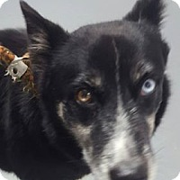 Adopt A Pet :: Brandy - Hawk Point, MO